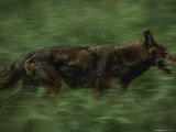 A Red Wolf Trots Through Grass at a Captive Breeding Center Photographic Print by Joel Sartore