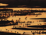 Sandhill Cranes Silhouetted against the Platte River at Sunset Photographic Print by Joel Sartore