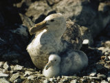 A Giant Petrel and Its Chick Sit in Their Nest Photographic Print by Bill Curtsinger