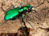 A Six-Spotted Green Tiger Beetle, Cincindela Formosa, Hunting Photographic Print by George Grall