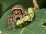 A Jumping Spider, Phidippus Species, Feeding on a Caterpillar Photographic Print by George Grall