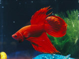 A Red Siamese Fighting Fish in an Aquarium Lámina fotográfica por Jason Edwards