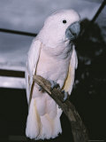 A Close-View of an Endangered Molluccan Cockatoo at the Melbourne Zoo Photographic Print by Jason Edwards