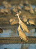 Sandhill Cranes Bask in the Sun in the Platte River Photographic Print