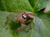 Portrait of a Dimorphic Jumping Spider, Maevia Inclemens Photographic Print by George Grall