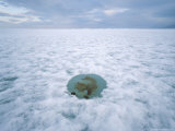 Seaweed Floats in a Hole in the Ice Photographic Print by John Dunn/Arctic Light