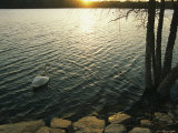 A Swan Glides Across the Surface of Jamaica Pond at Sunset Photographic Print by Melissa Farlow