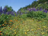 A Hillside Blanketed in Colorful Blooming Wildflowers Photographic Print by Bill Curtsinger
