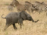 A Baby African Elephant Trots Past a Zebra Herd (Loxodonta Africana) Photographic Print by Roy Toft