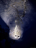 The Face of a Manatee in the Wild in the Homosassa River Photographic Print by Stephen St. John