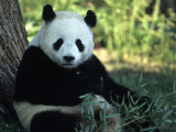 A Giant Panda Eating Bamboo, National Zoo, Washington D.C. Photographic Print by Taylor S. Kennedy
