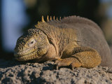 Marine Iguana Basks in the Sun, Galapagos Islands Photographic Print by Steve Winter