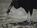 A Vulture Eating a Newly Hatched Sea Turtle Emerging from Its Nest Papier Photo par Bill Curtsinger