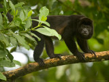 Mantled Howler Monkey Stands on Branch in Forest (Alouatta Palliata) Photographic Print by Roy Toft