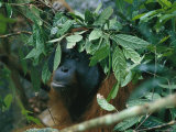 Orangutan During a Rain Shower, Gunung Palung National Park, Borneo Island Photographic Print by Tim Laman