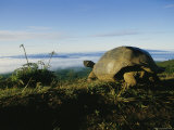 Giant Galapagos Tortoise near the Rim of the Alcedo Volcano, Galapagos Islands Photographic Print by Sam Abell
