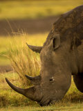 Southern White Rhino Eating Grass. Cerathotherium Simum Simum Photographic Print by Roy Toft