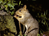 A Close View of a Squirrel Chewing on an Acorn in Early Morning Light Photographic Print by Stephen St. John