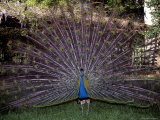 A Peacock Spreads It's Tail in a Display of Colorful Plummage Photographic Print by Stephen St. John
