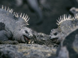 Two Marine Iguanas Face Off, Galapagos Islands Photographic Print by Steve Winter