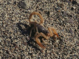 Scorpion Flexing its Stinger, Death Valley National Monument, California Fotografisk tryk af Paul Chesley
