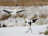 Pair of Japanese Red-Crowned Cranes in Mating Dance (Grus Japonensis) Photographic Print by Roy Toft