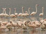 A Flock of Greater Flamingos Wading in a Lake (Phoenicopterus Ruber) Photographic Print by Roy Toft