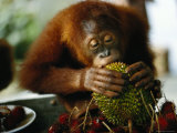 Orangutan Eats at a Table in Singapore Photographic Print by Steve Raymer