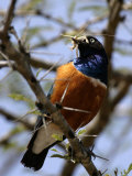 A Superb Starling with a Grasshopper in Its Mouth (Lamprotornis Superbus) Photographic Print by Roy Toft