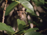 A Long-Tailed Macaque Peering from a Treetop Perch Photographic Print by Tim Laman