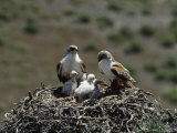 Mother and Father Ferruginous Hawk Sit in Their Nest near the Snake River, Idaho Stampa fotografica di Blair, James P.
