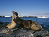 Seal with Pups on a Galapagos Shore Photographic Print by Steve Winter
