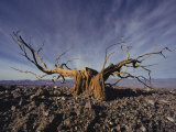 Gnarled Desert Holly, Death Valley National Monument, California Fotografisk tryk af Paul Chesley