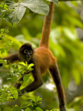Spider Monkey (Ateles Geoffroyi) Hangs by Tail with Mouth Open Photographic Print by Roy Toft