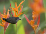 Bananaquit (Coereba Flaveola) Perched on Orange Heliconia Flower Papier Photo par Roy Toft