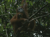 Female Orangutan with Infant in Tree, Gunung Palung National Park, Borneo, Indonesia Photographic Print by Tim Laman