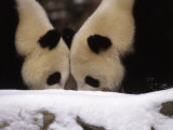 National Zoo Pandas Play in the Snow on a Winter Day Photographic Print by Taylor S. Kennedy