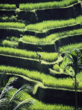 Terraced Rice Fields on Bali Island, Indonesia Fotografisk tryk af Paul Chesley