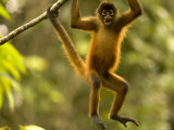 Spider Monkey (Ateles Geoffroyi) Hangs in Tree with Mouth Wide Open Photographic Print by Roy Toft