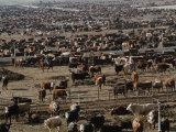 About 85,000 Cattle on 640 Acres of Land in Coalinga, 50 Miles Southwest of Fresno, California Lámina fotográfica por Sugar, James A.
