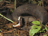 Close-Up of a Cottonmouth, Atchafalaya National Wildlife Refuge, Louisiana Photographic Print