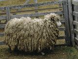 Sheep Covered in Wool, Harberton, Argentina Fotoprint van James L. Stanfield