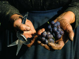 Hands Holding Muscatel Grapes and Shears, Czechoslovakia Photographic Print