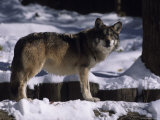 A Wolf Standing in Snow Photographic Print by Taylor S. Kennedy