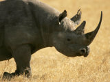 Black Rhino (Diceros Bicornis) Walking in Grassy Field Photographic Print by Roy Toft