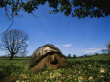 Giant Galapagos Tortoise, Galapagos Islands Photographic Print by Steve Winter