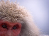 Close-up of Eyes and Fur of Japanese Macaque (Snow Monkey) Photographic Print by Roy Toft