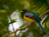 A Male Black-Throated Trogon Perched on a Branch in a Forest. Trogon Rufus Photographic Print by Roy Toft
