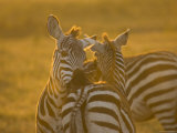 Two Common Zebras Chew on Each Others Hindquarters (Equus Quagga) Photographic Print by Roy Toft