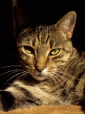 A Close View of the Face of a Curious Domestic Tabby Cat Photographic Print by Stephen St. John